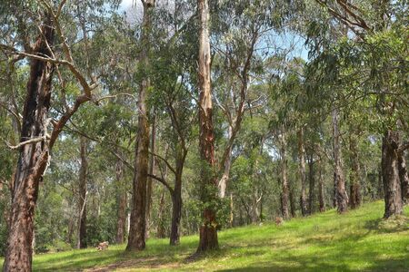 Forest park with eucalyptus trees and green grass near Melbourne on sunny day.