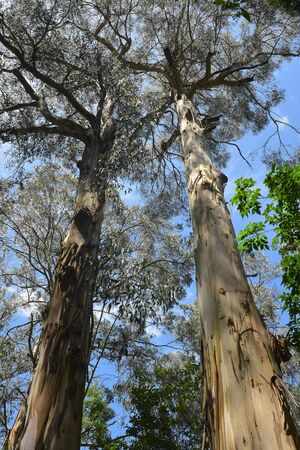 Low wide angle view of tall eucalyptus tree trunks with treetops in distance.