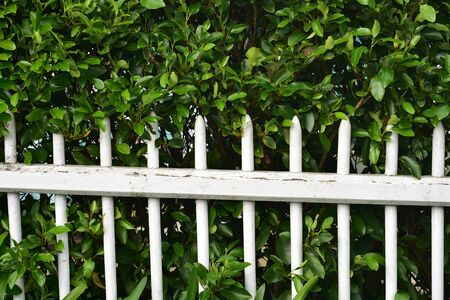 White wooden stick fence with paint peeling off and hedges behind it. Stock fotó