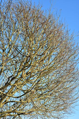 Dense branches of leafless treetop with blue sky in background.