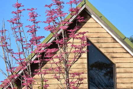 Tree with pink leaves in front of wooden house with gable roof. Stock fotó