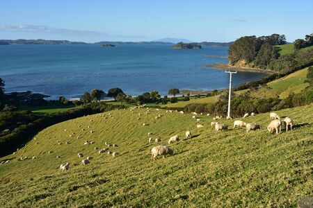 Sheep grazing on steep hill with Kawau Bay with its islands in background.