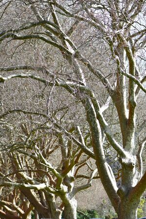 Vertical view of dense row of platanus trees with no leaves in harsh light showing just bare trunks and branches.