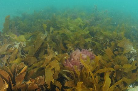 Dichte laag bladeren van bruine kelp Ecklonia radiata die in troebel water verdwijnt. Stockfoto