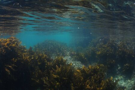 Brown stalked kelp Ecklonia radiata growing in shaded waters close to surface.
