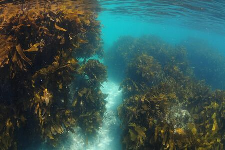 Deep sandy gutter between two rocky formations covered with kelp forest of Ecklonia radiata.