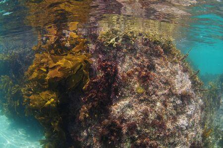 Underwater rock covered with various short seaweeds and brown stalked kelp breaking calm ocean surface.