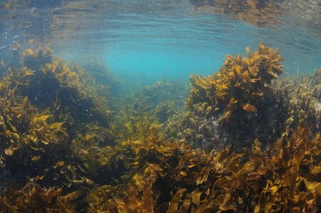 Brown stalked kelp Ecklonia radiata growing in light filled waters close to surface.