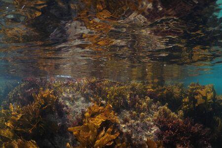 Various short seaweeds growing on submerged rock touching calm sea surface.