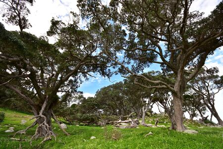 Rocky country with twisted pohutukawa trees at Ti Point in New Zealand.