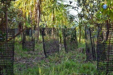 Tree seedlings protected by black plastic mesh under cabbage trees.