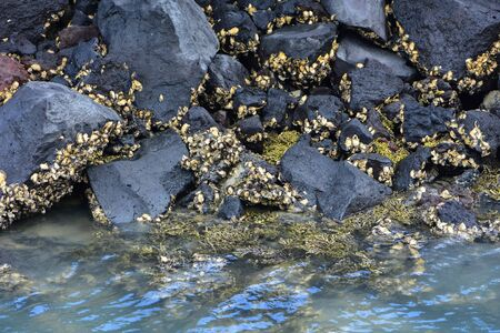 Oyster shells on dark coastal rocks protruding above sea surface at low tide.