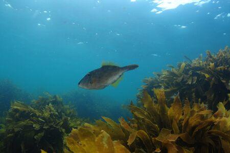 New Zealand triggerfish called leatherjacket Parika scaber swimming above fields of brown seaweed Ecklonia radiata.