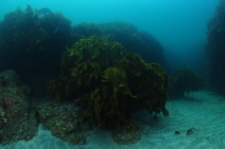 Moody atmosphere in dark kelp forest and on sandy bottom around on overcast day.