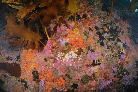 Rocky wall with rich growth of colorful invertebrates and brown kelp fronds. Imagens