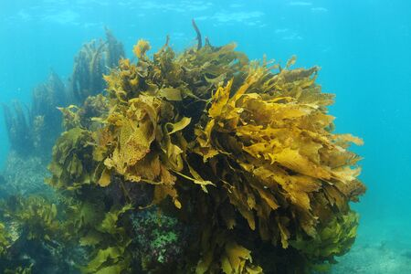 Large rock covered mostly with brown kelp Ecklonia radiata rising from sea bottom.