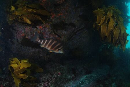 Banded morwong (red moki) hiding in the darkness among kelp under rocky wall overhang.