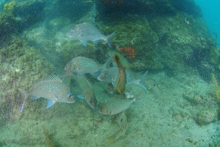 Melee of snapper and wrasse fish above rocky bottom in murky water with lot of particles.