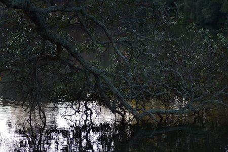 Tree branch with smooth reflective leaves touching calm water surface reflecting light. Imagens