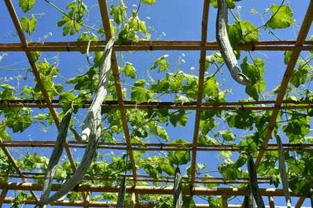Cucumber like vegetables growing on bamboo structures on premises of Ujung Water Palace in Bali.