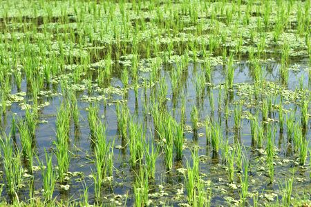 Detail of rice field with young plants protruding from calm water.