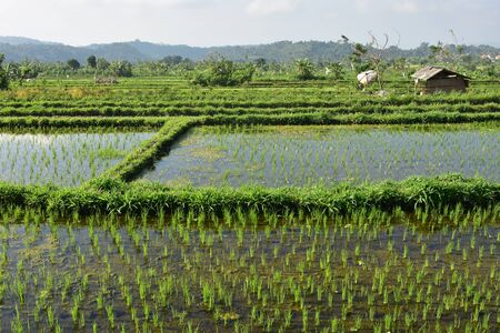 Rice fields with huts and footpaths among patches of rice.
