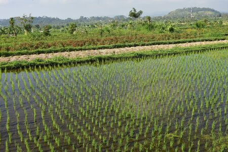 Rice field with young plants protruding from calm water.
