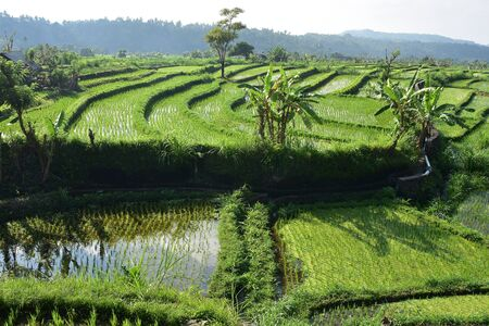 Terraced rice fields with irrigation and occasional banana plants. Imagens