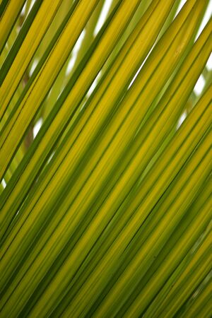 Detail of semi translucent leafs of palm tree with shades of green and yellow.