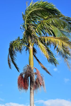 Tall palm tree with clusters of tiny red round fruit and branches bent by wind. Imagens