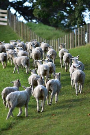 Small her of sheep running away along wire fence with wooden posts. 版權商用圖片