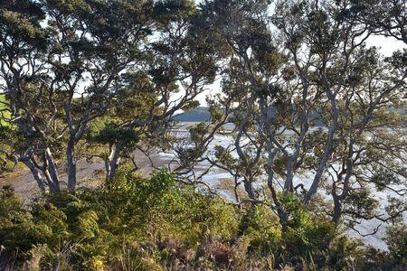 Mud flats of Okura River at low tide behind large pohutukawa treetops.