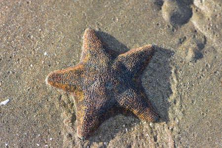 Cushion sea star Patiriella regularis exposed to air crawling in fine mud at low tide.