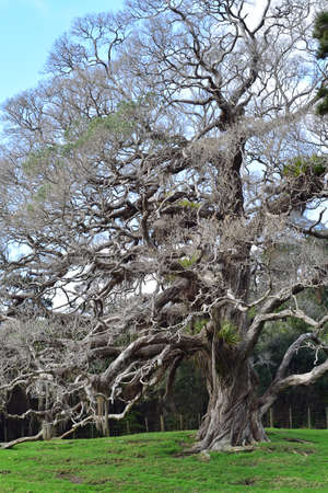 Vertical view of pohutukawa with aerial roots and epiphytes in treetop that looks like tree from fairy tale. 版權商用圖片