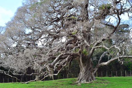Horizontal view of pohutukawa with aerial roots and epiphytes in treetop that looks like tree from fairy tale.
