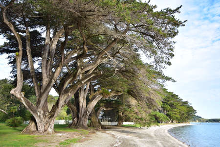 Huge conifer trees with massive trunks and branches growing along calm bay with flat sandy shore.
