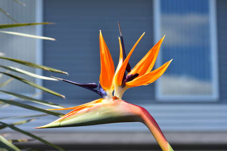Strelitzia bird of paradise flower in bright light in front of blurred grey house background.
