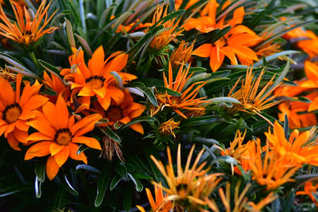 Contrasty pattern of flowers with orange petals among dark green leaves.