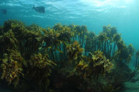 Forest of brown stalked kelp Ecklonia radiata on rocks in subtidal zone.