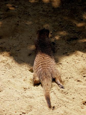 mongoose: zebra mongoose Stock Photo