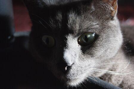 russian blue: Portrait of a russian blue cat Stock Photo