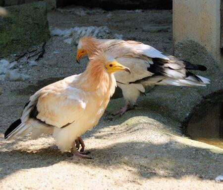 birds desert: Egyptian vulture Stock Photo