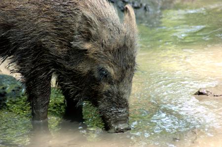 wild boar: drinking wild boar
