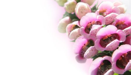 Bee's delight - foxglove flowers with soft edge Stock Photo - 4452209