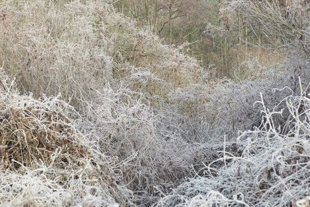 Rimed forest tree branches and dried plant with hoarfrost at early winter, beautiful christmas and new year background for your design, winter holidays and nature concept