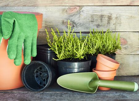 Terracotta clay flower pots around coniferous plants and black plastic containers on wooden table on rustic background, nursery and gardening concept, closeup, copy space
