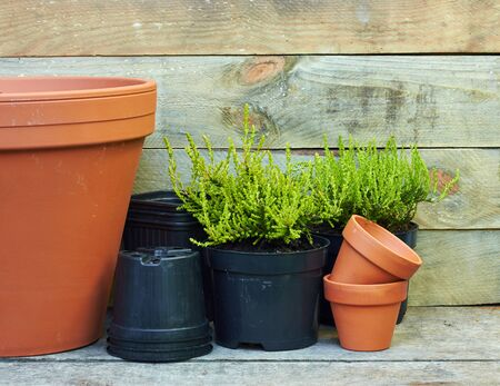 Coniferous plants aaround terracotta clay flower pots and black plastic containers on wooden table on rustic background, nursery and gardening concept, closeup, copy space