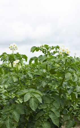 Potato plant blooming during vegetation with white flowers and young leaves in the field, agrarian  background, vertical, grow your own and eco food agribusiness concept