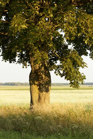 Beautiful scenic view opening under the the maple tree crown: blooming field of rape plant in the meadow. belarus forest in the background, backdrop for your design, copy space, closeup. Organic agriculture, farming and rural life concept Standard-Bild