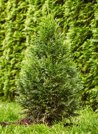 Sapling of western emerald thuja, young plant on the background of green natural hedge of grown trees, vertical, closeup. Landscape design and gardening concept Standard-Bild